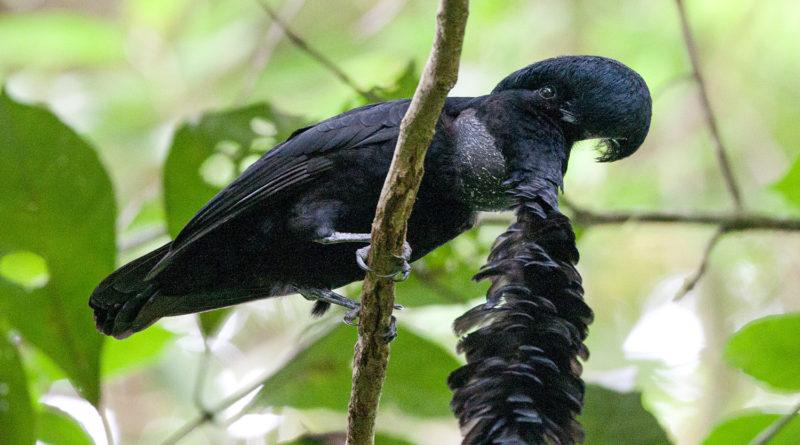 Зонтичная птица: Ёршик для свиданий на шее