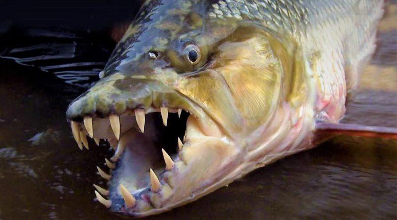 Тигровая рыба Голиаф: Африканская пиранья, которая ест крокодилов