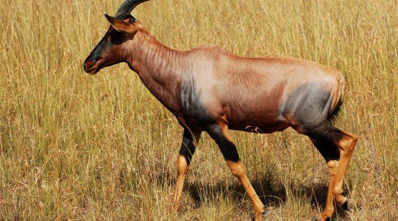 Сассаби: Драки антилоп