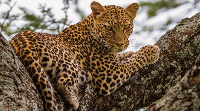 Леопард: Тактика смертельных атак от невидимой кошки