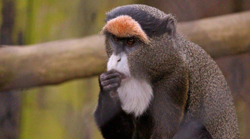 Мартышка Бразза: Тотемное животное