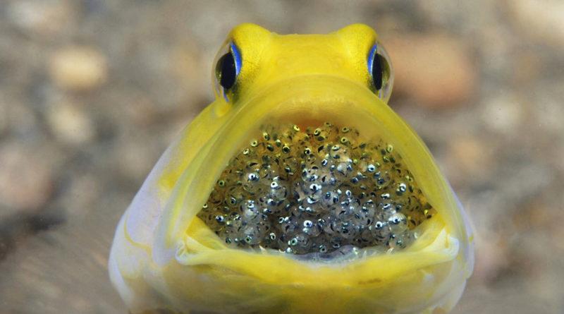 Желтоголовый большерот: Инкубатор мальков в горле