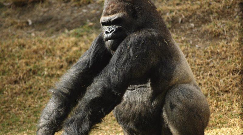 Горилла: Самая мощная обезьяна