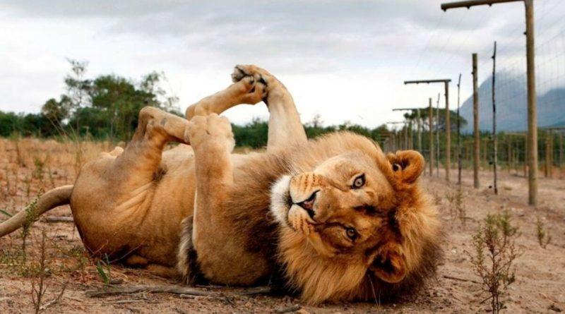 Лев vs Амурский тигр: Кто сильнее?