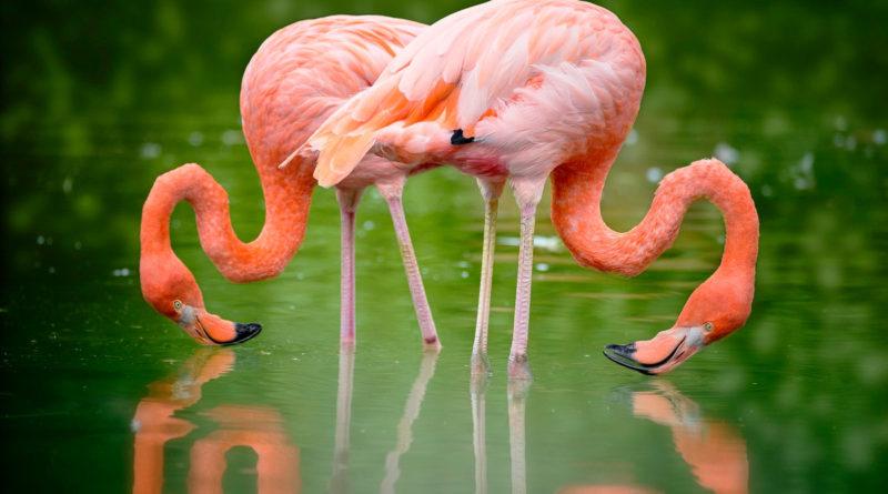 Фламинго: Чего им стоит красота?