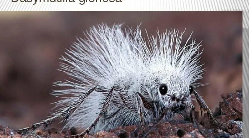 Мохнатые муравьи: Белые, пушистые и очень опасные