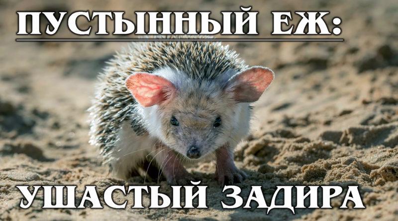 УШАСТЫЙ ЕЖ: Пустынный Муми-тролль