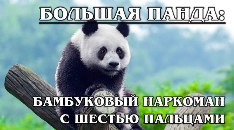 БОЛЬШАЯ ПАНДА: Енот или медведь?