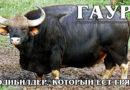 ГАУР: Самый большой и агрессивный бык не любит людей