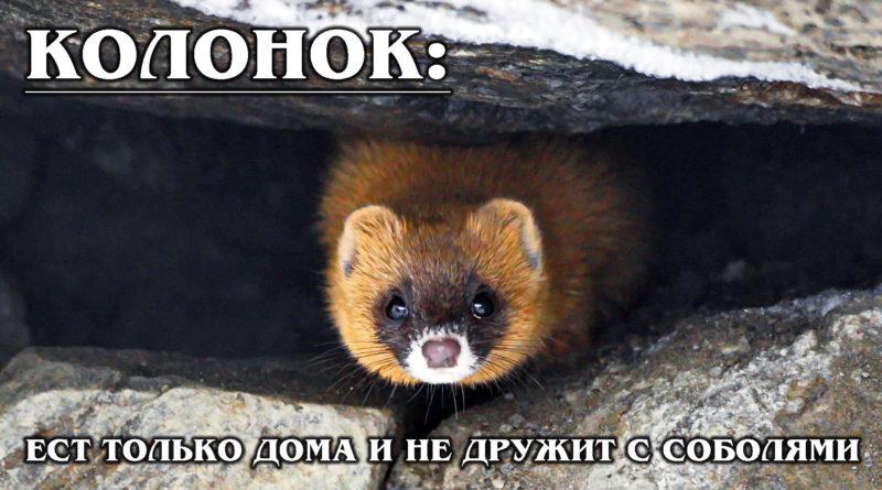 КОЛОНОК: Враг соболя и родственник ласки