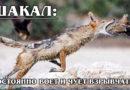 ШАКАЛ: Умный и хитрый маленький волк