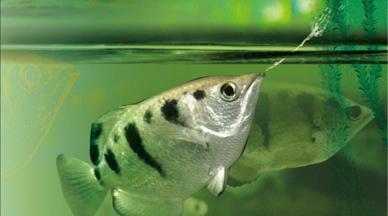 Рыба-брызгун: Убивает жертву одним плевком