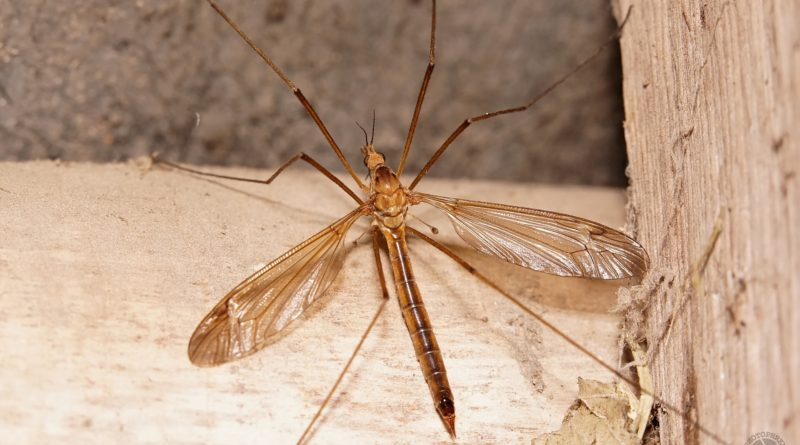 Комар-долгоножка: Это не малярийный комар!