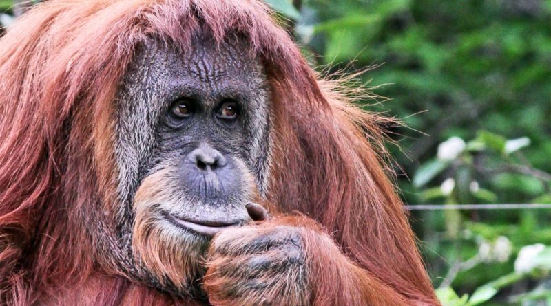 Орангутан: Обезьяна-добряк