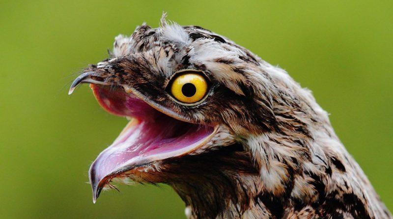 Козодой: Абсолютно неадекватный птиц