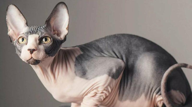 Сфинкс: В чем «изюминка» этих кошек?