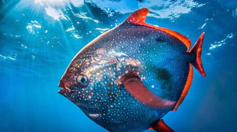 Краснопёрый опах: Теплокровная рыба - единственная на планете