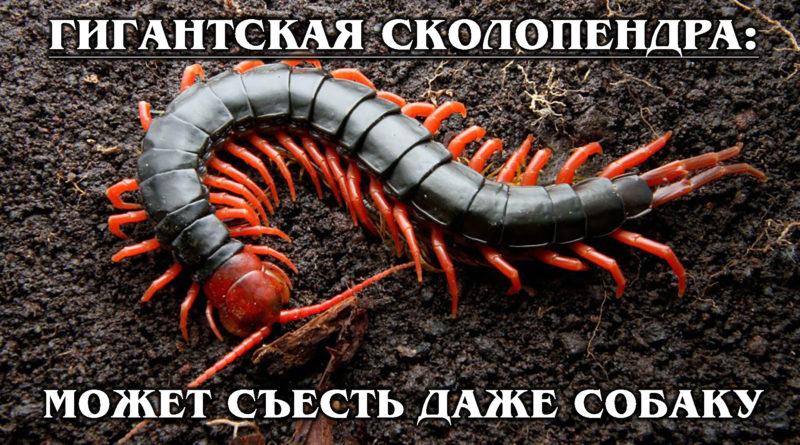 ГИГАНТСКАЯ СКОЛОПЕНДРА: Не нуждается в муже и ест мышей