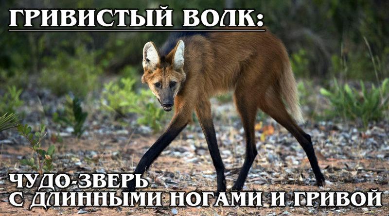 ГРИВИСТЫЙ ВОЛК: Раритетный волк, похожий на лису, любит бананы