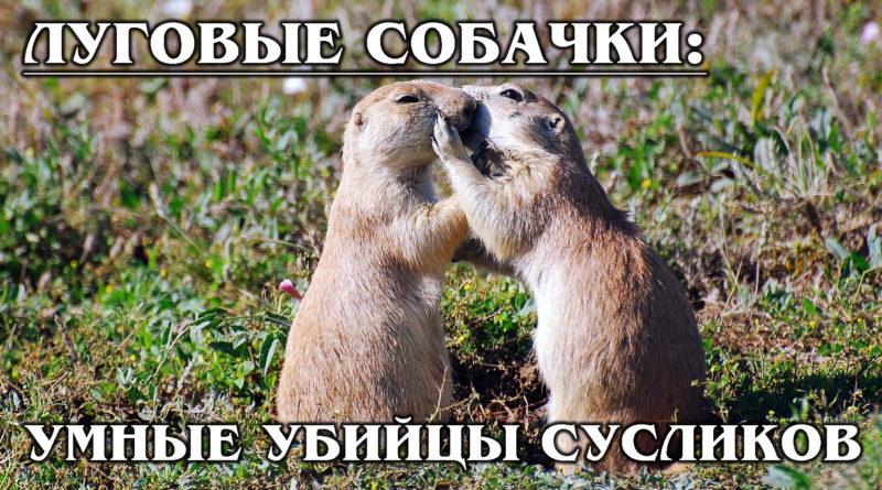 ЛУГОВЫЕ СОБАЧКИ: Умеют целоваться и убивать сусликов