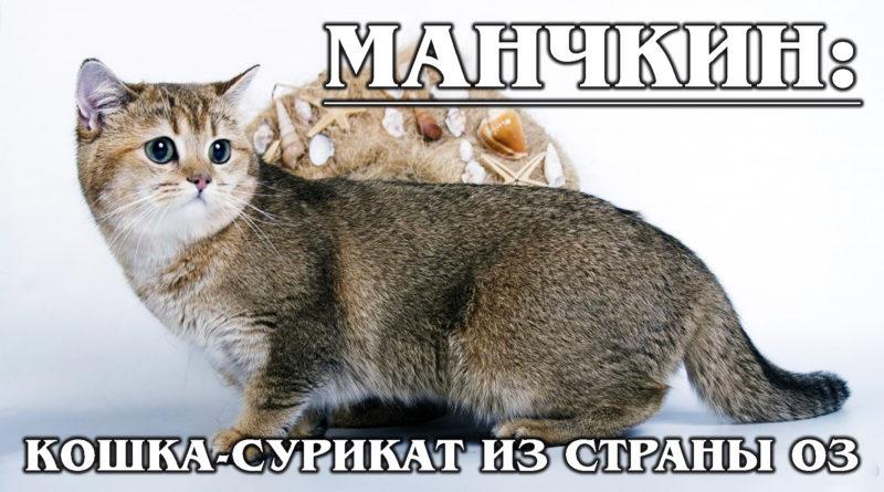 МАНЧКИН: Кошка-Такса родом из страны Оз