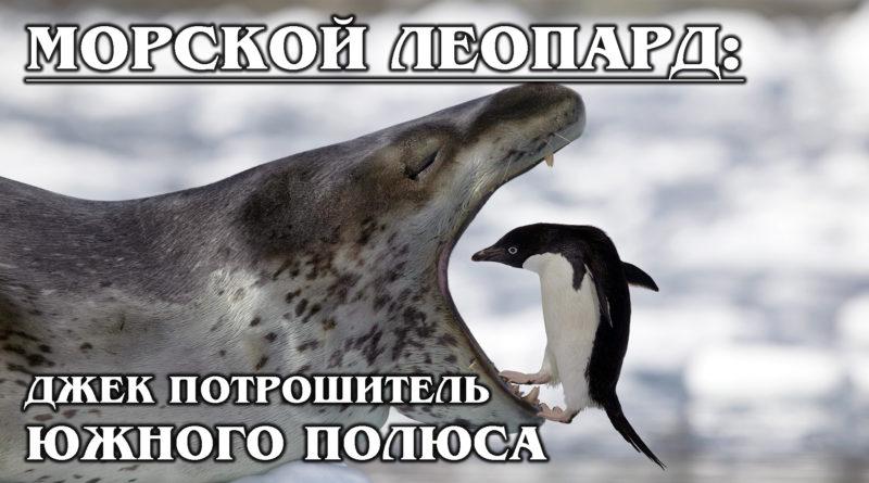 МОРСКОЙ ЛЕОПАРД: Царь Антарктиды и бандит, которого победит только косатка