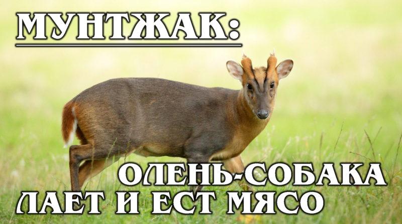 МУНТЖАК: Лающий олень ест мясо