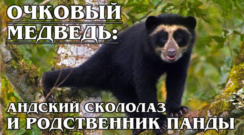 ОЧКОВЫЙ МЕДВЕДЬ: Андский травоядный скалолаз, родственник панды