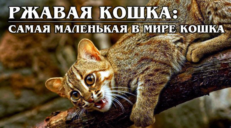 РЖАВАЯ КОШКА: Редкая, Скрытная и Миниатюрная родственница бенгальской кошки