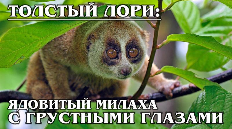 МЕДЛЕННЫЙ ЛОРИ: Грустный и Ядовитый Примат-Ленивец