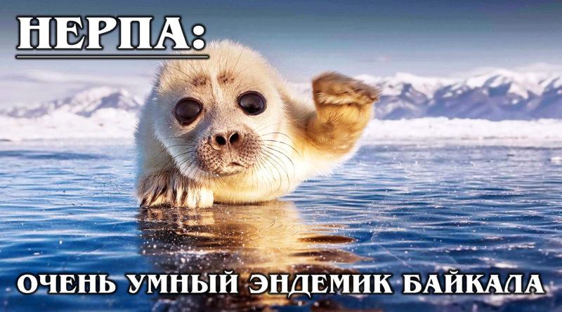БАЙКАЛЬСКАЯ НЕРПА: Как тюлень-разбойник оказался на Байкале?