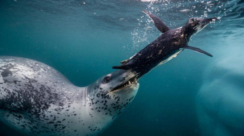 Морской леопард: Царь Антарктиды