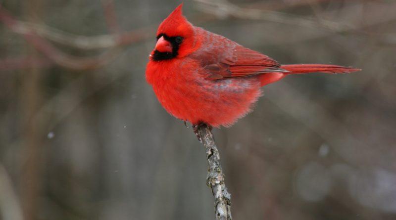 Красный кардинал: Птичка из Angry Birds