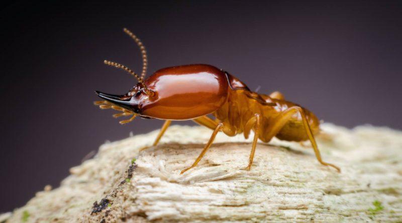 Термиты: Это муравьи?
