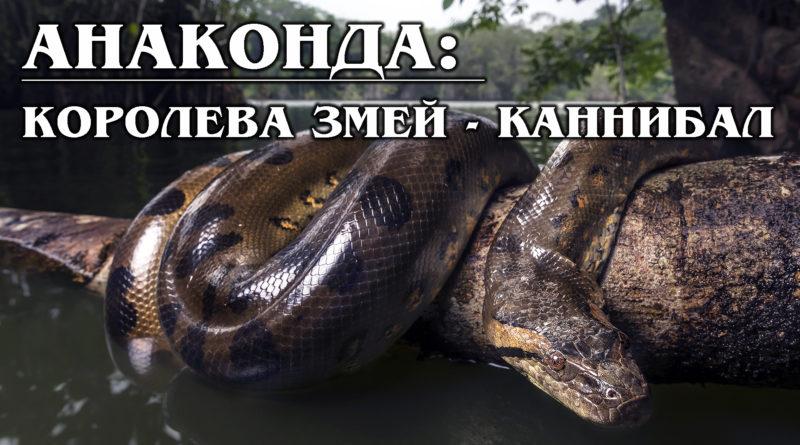 АНАКОНДА: Мифы о самой большой змее в мире