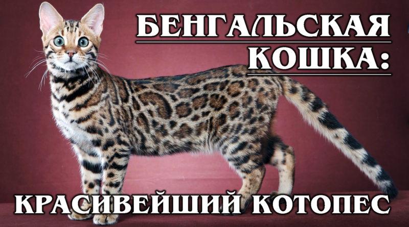 БЕНГАЛЬСКАЯ КОШКА: Домашний леопард с собачьим характером