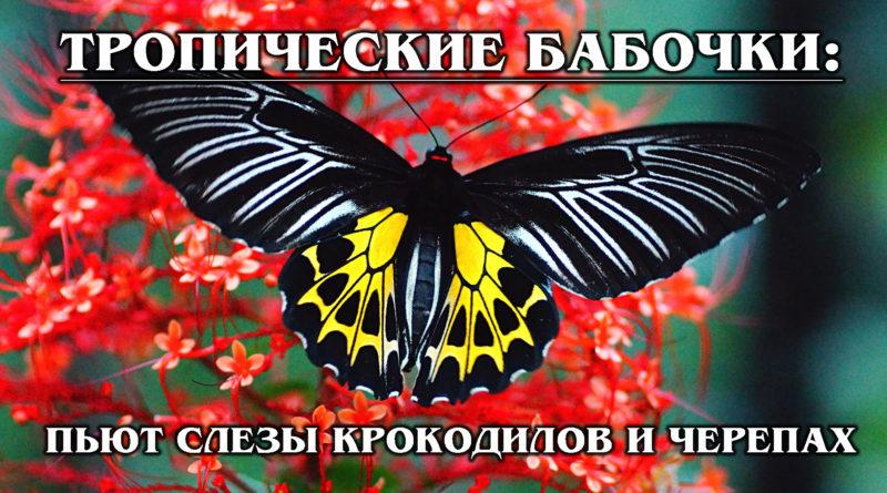 ТРОПИЧЕСКИЕ БАБОЧКИ: Самые красивые виды бабочек