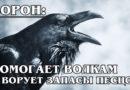 ЧЁРНЫЙ ВОРОН: Самая умная птица в мире