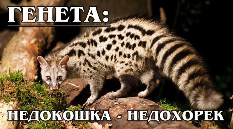 ГЕНЕТЫ: Древние кошки с ароматом мускуса