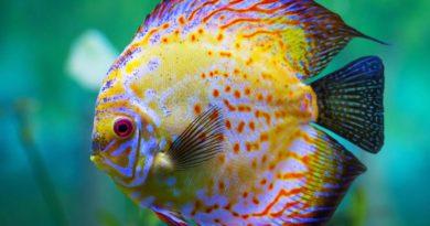 Дискус: Млекопитающая рыба?