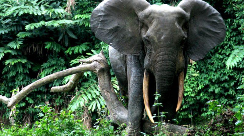 Лесной слон: Новый вид слонов