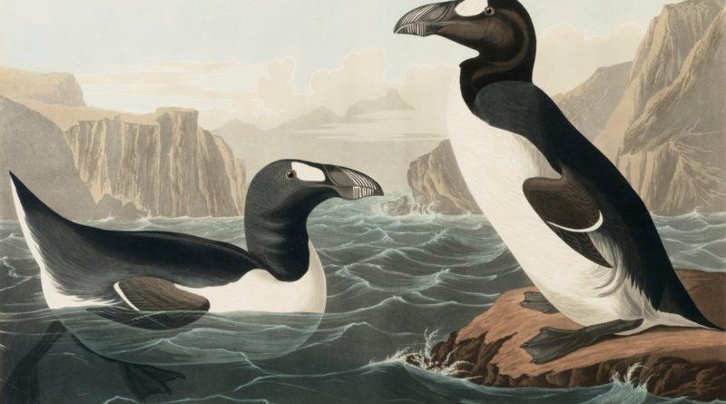 Бескрылая гагарка: На Северном полюсе все-таки были пингвины