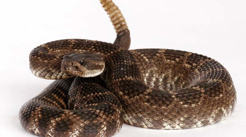 Гремучие змеи: Зачем они трещат трещотками