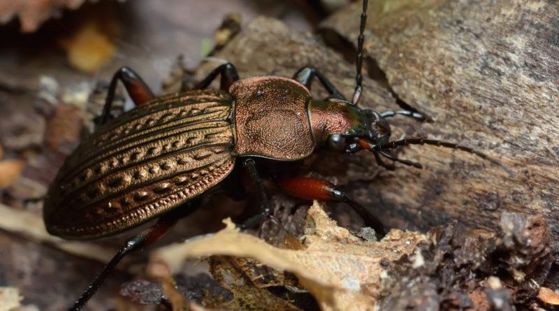 Брызгун-улиткоед: Танк среди насекомых