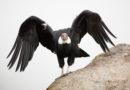 Андский кондор: Отбирает добычу у пум и волков