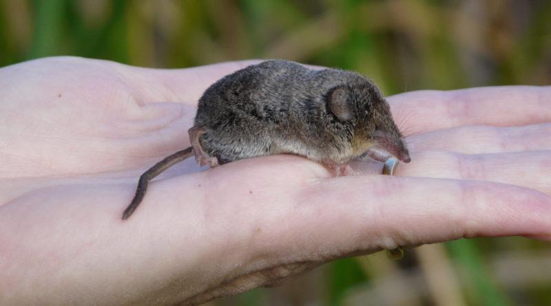 Крошечная бурозубка: Самое маленькое млекопитающее в России