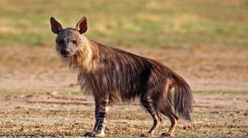 Бурая гиена: Ест только падаль