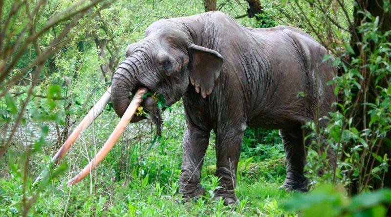Мастодонт: Американский слон
