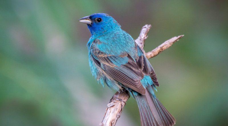 Индиговый кардинал: Синяя милаха