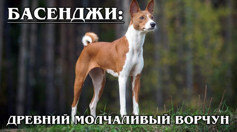 БАСЕНДЖИ: Нелающая собака Не для слабаков